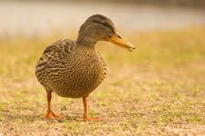 Free Portrait Of A Mallard Royalty Free Stock Image - 2514666