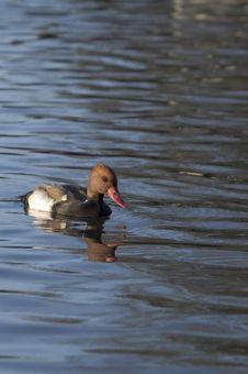 Pochard On Water Royalty Free Stock Image