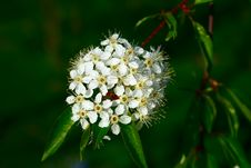 Free Small White Flowers Stock Photos - 2515303
