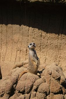 Free Meerkat Looking Up Stock Images - 2516464