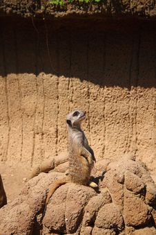 Free Meerkat Looking Up Stock Image - 2516471