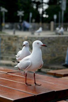 Free Seagull Table Stock Photos - 2516973
