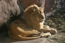 Free African Lion Sits In The Sunsh Royalty Free Stock Photos - 2518198