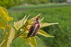Free Chafer Royalty Free Stock Photography - 25109527