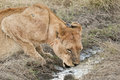 Free Lioness Drinking Stock Image - 25113191
