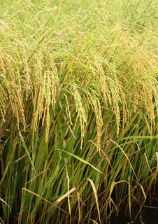 Free Rice Field Stock Photography - 25112902
