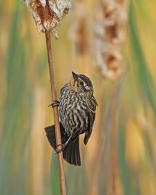 Free Female Red-winged Blackbird Royalty Free Stock Photos - 25113738