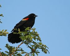 Free Male Red-winged Blackbird Royalty Free Stock Images - 25113739