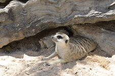 Free Meerkat At The Zoo Royalty Free Stock Photography - 25116457