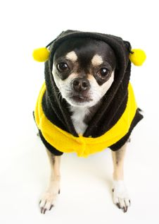Free Cute Chihuahua Honey Bee Royalty Free Stock Photo - 25117015