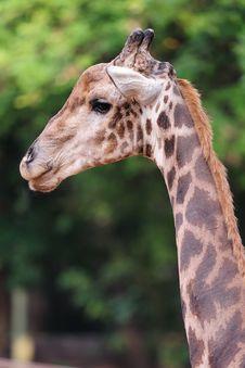 Free Giraffe Head Stock Photo - 25118900