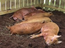 Free Pigs Asleep Royalty Free Stock Photography - 25119617