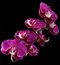 Free Pink & White Orchids On Black Background Stock Photo - 25117140