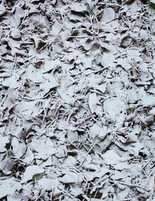 Free Frozen Leaves Royalty Free Stock Images - 25124389