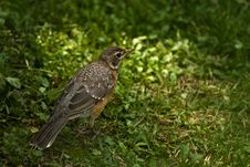 Free American Robin Juvenile-Back View Royalty Free Stock Images - 25124659