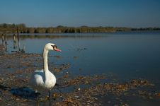 Free Swan Stock Images - 25125554