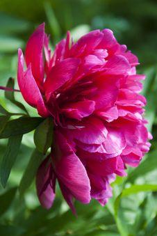Free Deep Pink Peony Stock Photos - 25127023
