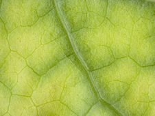 Free Green Leaf Macro Royalty Free Stock Images - 25128419
