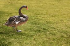 Free Beautiful Black Colored Swan Having A Stroll Stock Images - 25128944