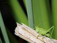 Free Grasshopper With Long Mustache Stock Photos - 25131563