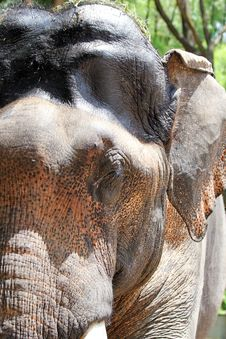 Free Asian Elephant Face Closeup With Spots Royalty Free Stock Photos - 25133048