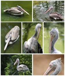 Free Pelican Images Collection In Various Active Roles Stock Photo - 25137260