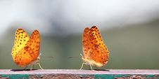Free Pair Of Butterflies With Yellow Spotted Wings Royalty Free Stock Photography - 25137957