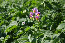 The Potato Field Is During Flowering Stock Photos