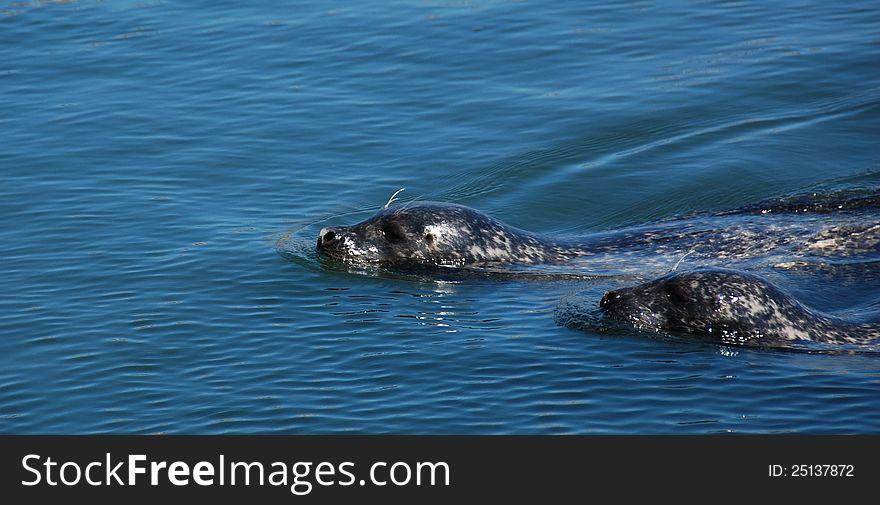 Seal couple