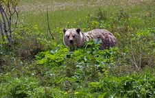 Free Grizzly Bear Feeding On Cowslip Royalty Free Stock Photos - 25140338