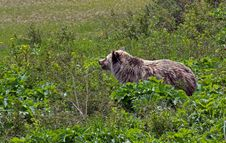 Free Grizzly Bear Heading For The Beach Royalty Free Stock Image - 25140586