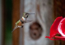 Free Female Rufous Hummingbird Royalty Free Stock Images - 25141619