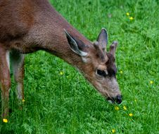 Free Young Male  Deer Eating Buttercups Royalty Free Stock Images - 25141659