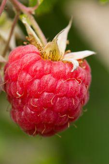 Free Raspberry Royalty Free Stock Image - 25142446
