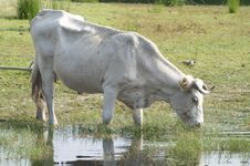 Free White Cow Stock Photography - 25146512