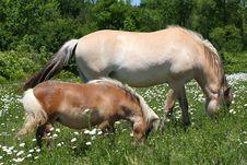 Free Miniature Horse & Norwegian Fjord Horse Stock Image - 25146681