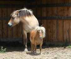 Free Miniature Horse & Norwegian Fjord Horse Royalty Free Stock Photos - 25146708