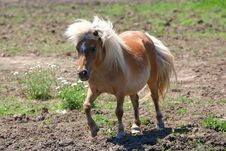Free Miniature Horse Stock Photography - 25146772