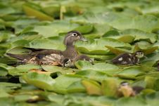 Free Wood Duck Female With Ducklings Royalty Free Stock Image - 25146796