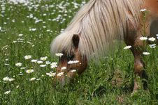 Free Miniature Horse Stock Photo - 25146830