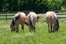 Free Norwegian Fjord Horse Stock Photos - 25146973