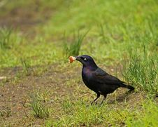 Free Common Grackle Royalty Free Stock Image - 25147596