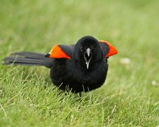 Free Male Red-winged Blackbird Stock Images - 25147604