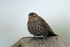 Free Immature Red-winged Blackbird Stock Images - 25147644