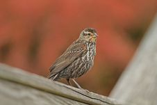 Free Immature Red-winged Blackbird Royalty Free Stock Images - 25147669