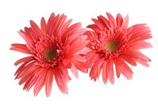 Free Orange Gerbera Royalty Free Stock Photos - 25148098