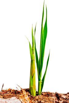 Free Green Grass Shoots Royalty Free Stock Photo - 25150155