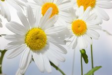 Free Camomile Stock Photography - 25158872