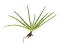 Free Aloe Vera Stock Images - 25163154