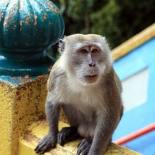 Free Macaque Monkey Royalty Free Stock Photo - 25161295
